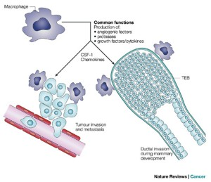 Tumour-educated macrophages promote tumour progression and