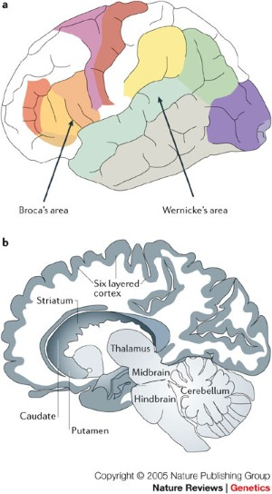 The eloquent ape: genes, brains and the evolution of