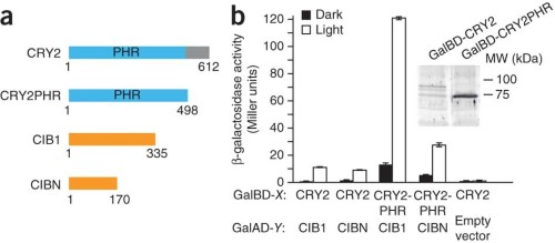 Mapping of interacting domains of CRY2 and CIB1.