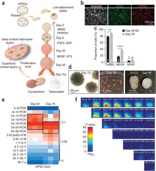 Generation and characterization of human cortical spheroids (hCS) from hiPSCs.