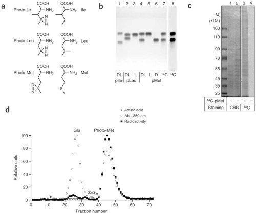 New photoreactive amino acids are incorporated into proteins.