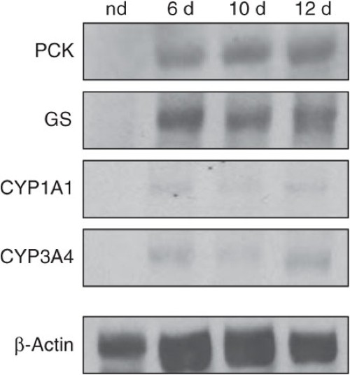 Figure 2 : Characterization of hepatocyte-specific marker protein expression in differentiated MSCs using western blots.