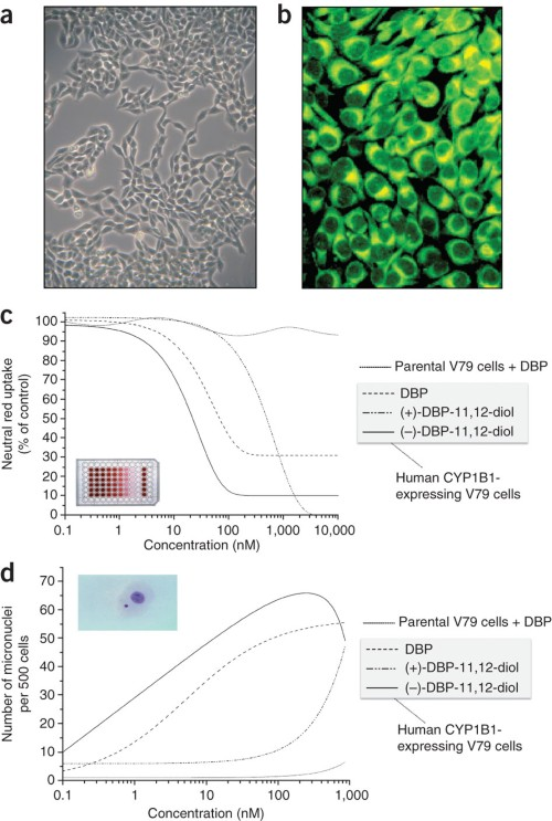 Toxic effects of DBP and its 11,12-diol enantiomers on CYP1B1-expressing V79 cells.