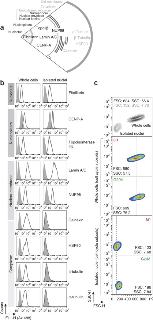 Flow cytometric characterization of isolated nuclei.
