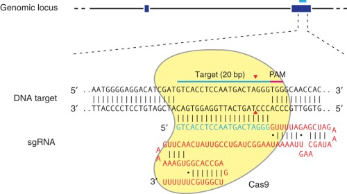 Schematic of the RNA-guided Cas9 nuclease.
