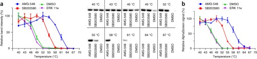 Illustration of the remaining amount of p38α accessible for detection as a function of the temperature used for heat treatment of HL-60 cells.