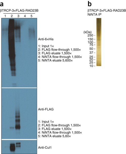 Quality-control post-purification results for mammalian purification.