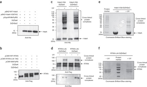 Figure 3 : Incorporation and photolysis of the genetically encoded releasable photo-cross-linkers in E. coli and mammalian cells.