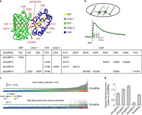 Mutagenesis and screening of jGCaMP7 in dissociated neurons.