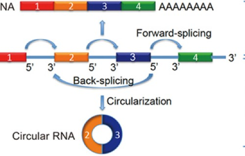 Circular noncoding RNAs as potential therapies and circulating