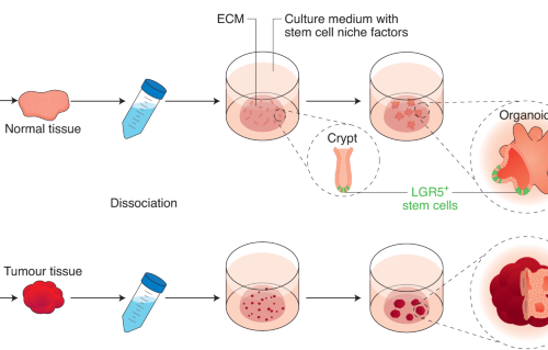 Somatic Cell Derived Organoids As Prototypes Of Human Epithelial Tissues And Diseases Nature Materials