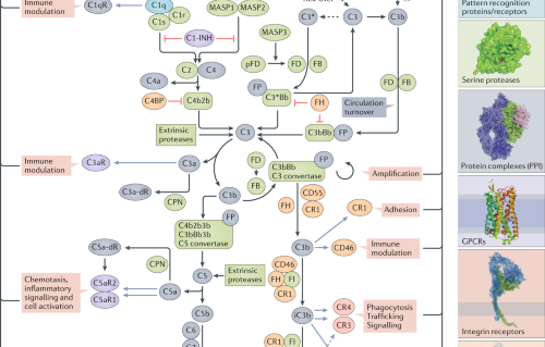 The complement system as a therapeutic target