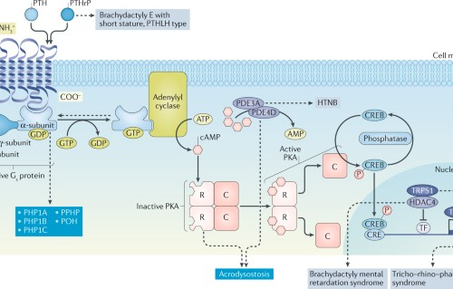 Diagnosis and management of pseudohypoparathyroidism and