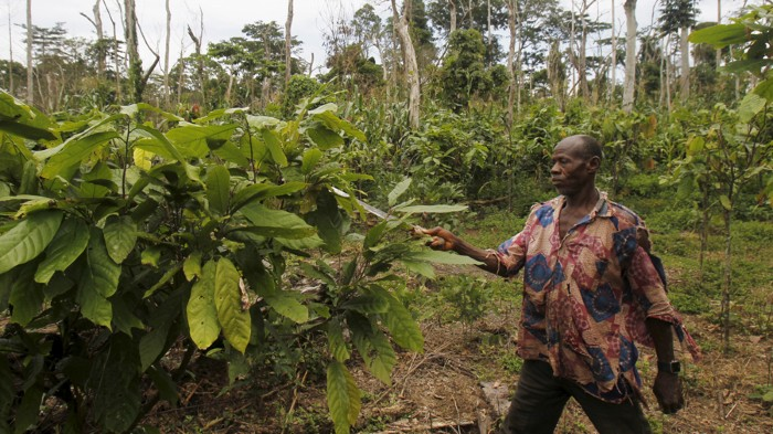 A farmer works with cocoa plants in Côte d'Ivoire.