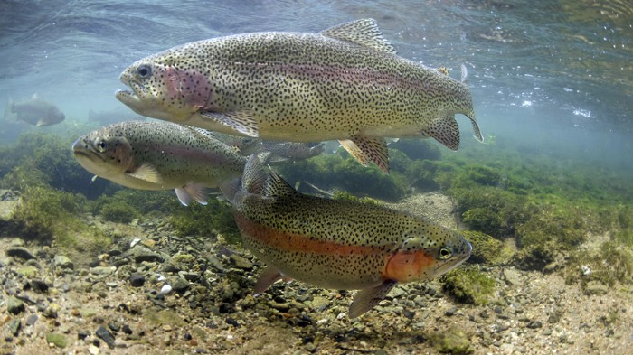 Certain proteins may have a role in allowing rainbow trout (Oncorhynchus mykiss) to sense Earth's magnetic field.