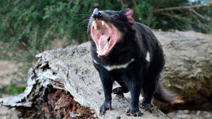 Tasmanian devils (Sarcophilus harrisii) transmit cancer to each other through biting.