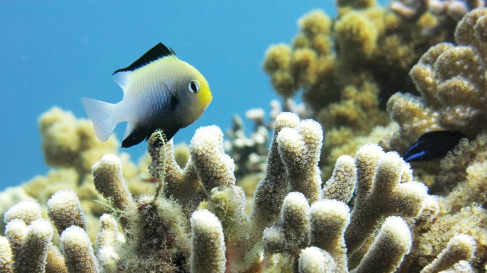 The damselfish Dascyllus marginatus swims above the coral Stylophora pistillata.