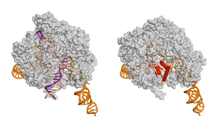 The AcrIIA4 protein (red) could improve the CRISPR-Cas9 editing system by stopping it cutting DNA (purple) in the wrong places.