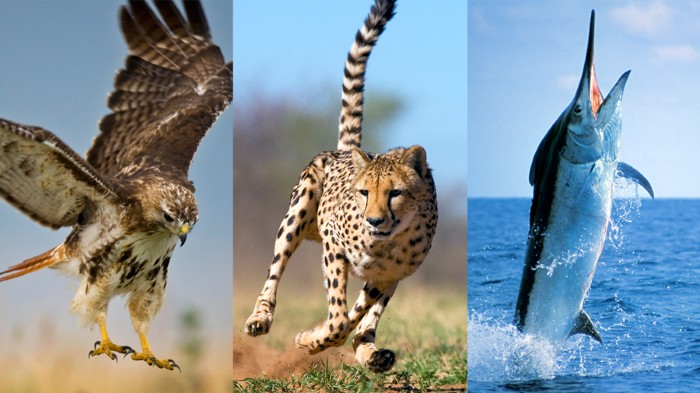 The fastest animals in the air, on land and at sea are not the largest.